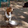 MYA,  BUSTER (basset Hound Pup)