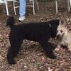 JETT (miniture poodle, 5 yrs.), LEMMY(cairn pup)