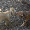 CHARLIE & Rocky ( cairn )