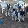 BEAUREGARD , elk hounds, maddie
