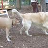 PUMPKIN (golden retriever), LUCY (pitbull)