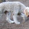 ANNABELLE (goldendoodle, 9 months)