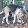 CARLEY (beagle, 11 years)