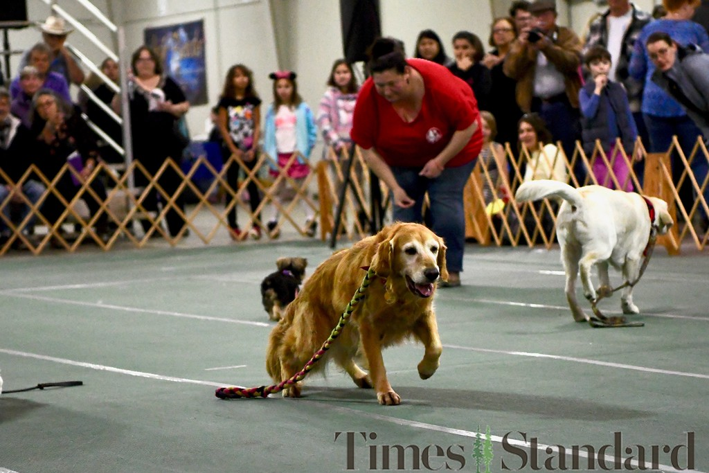 . A Golden Retriever returns to her master as part of the HumDog Drill Team event. José Quezada�For Times-Standard