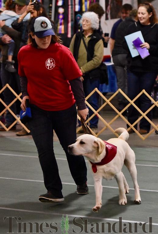 . A Labrador Retriever takes a run during the dog parade. José Quezada�For the Times-Standard