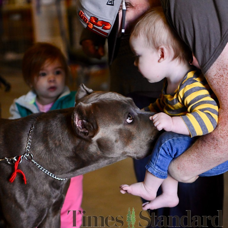 . An Italian Mastif Cane Corso, Emmy, 2,  owned by Celeste Villarreal, gives Wyatt Perkins, 10 months, a big lick as he is held by father Matthew Perkins. José Quezada�For the Times-Standard