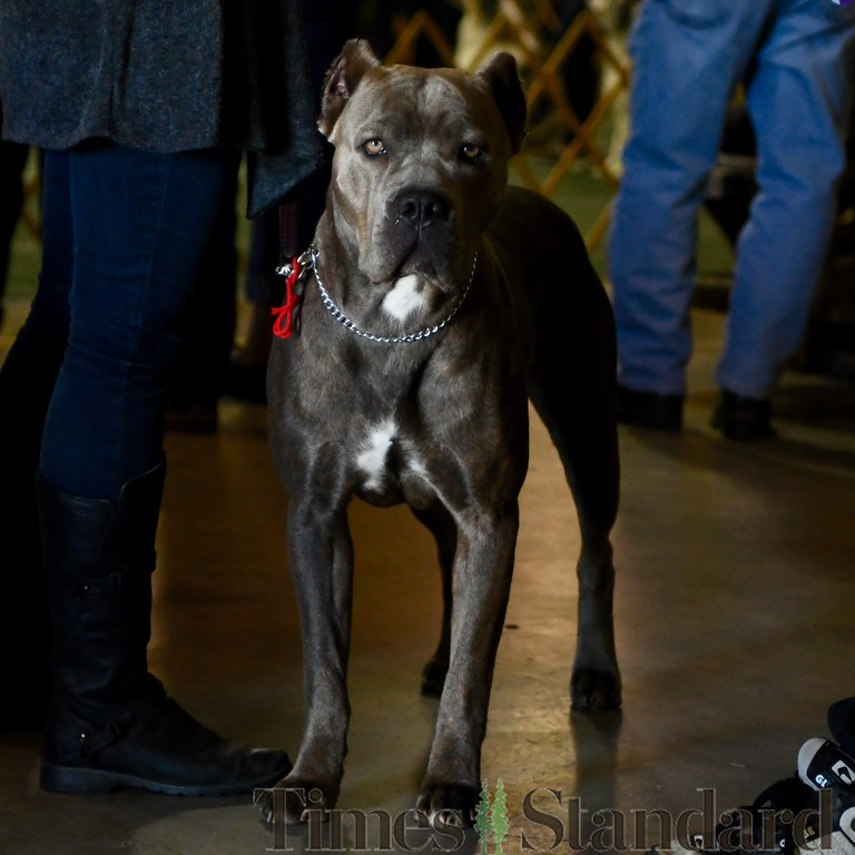 . Keeping a sharp eye out is an Italian Mastif Cane Corso, Emmy, 2,  owned by Celeste Villarreal. José Quezada�For the Times-Standard