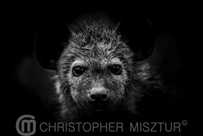 Hyena portrait in black and white