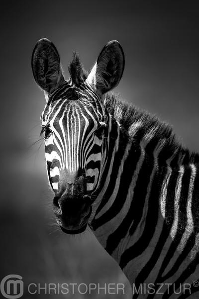 Zebra portrait in black and white