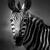 Zebra portrait in black and white