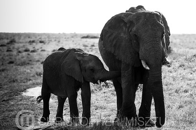 Elephants portrait in black and white