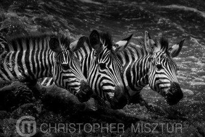 Zebras portrait in black and white