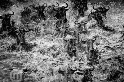 Wildebeests crossing  river in black and white