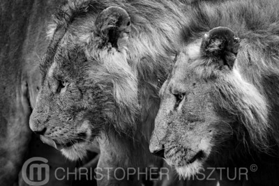 Lions portrait in black and white