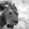 Lion portrait in black and white