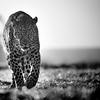 Leopard portrait in black and white