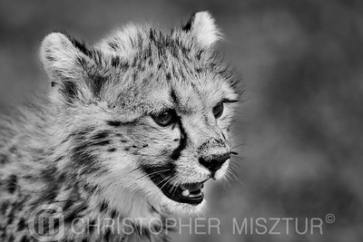 Cheetah portrait in black and white