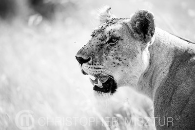 Lioness portrait in black and white