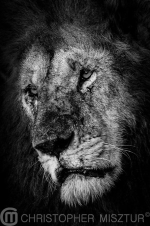 Lion portrait in black ans white