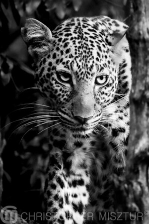 Leopard portrait in black and white