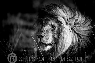 Lion portait in black and white