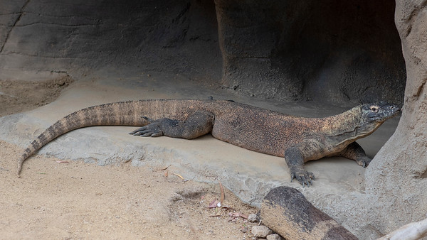 Sydney, March 2018, Taronga Zoo, Komodo Dragon.