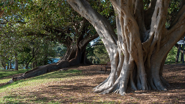 Sydney, March 2018, Botanical Garden big trees.