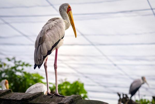Yellow-billed Storks  in KL bird park.