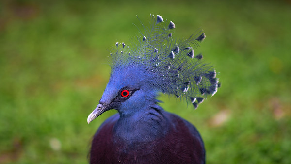 Crowned pigeon in KL bird park.