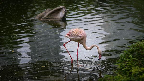 Flamingo in KL bird park.