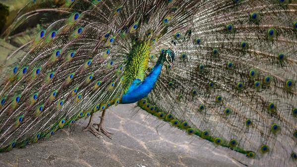 Indian Blue Peacock in KL bird park.