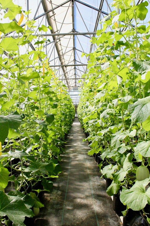 . HANS PETER - DAILY DEMOCRAT A melon-growing greenhouse at the Monsanto site in Woodland.