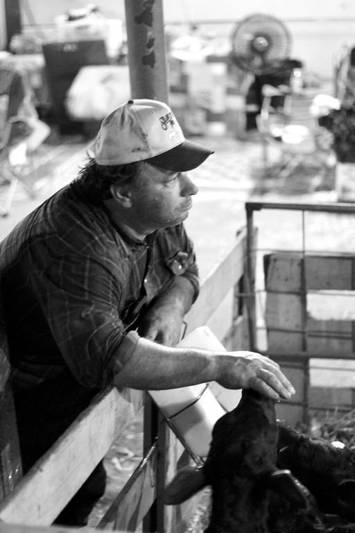 . HANS PETER - DAILY DEMOCRAT A rancher tends  to a calf during the Yolo County Fair.