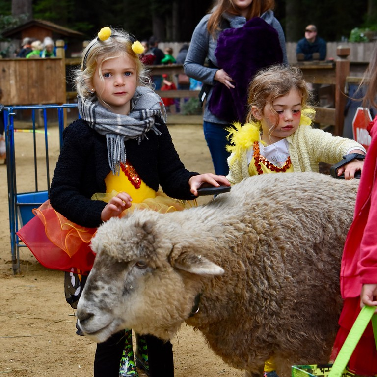 . Jade Blodgett and sister Maya Blodgett comb a sheep at Boo at the Zoo event. José Quezada�For Times-Standard