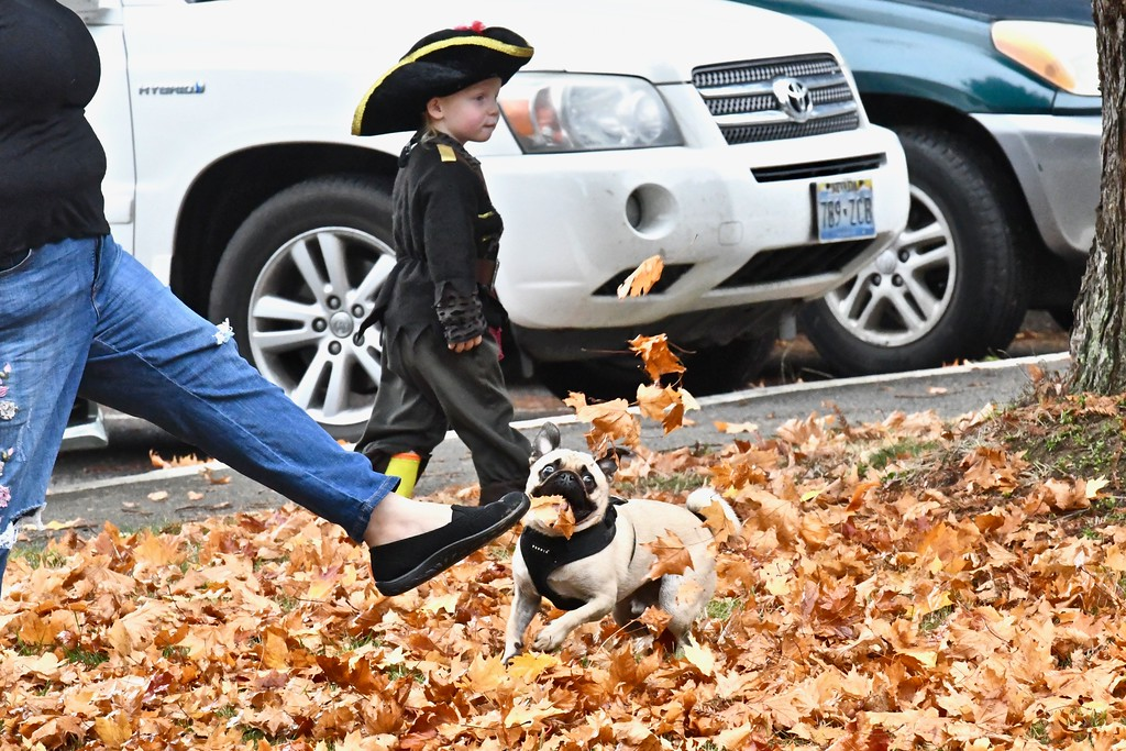 . Mr. Peabody jumps up for autumn leaves kicked up by her owner Amanda Olson as a pirate walks by near the entrance to the Sequoia Park Zoo. José Quezada�For Times-Standard