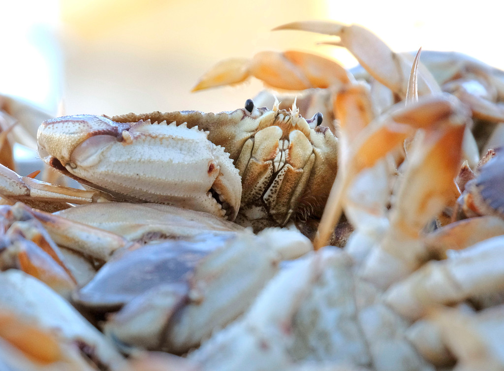 . Shaun Walker � The Times-Standard  Dungeness crabs sit piled high on top of each other in a large plastic box waiting to be loaded with a forklift onto a waiting tractor trailer.