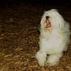 Petey (tibetan terier boy)