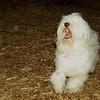 petey (tibetan terrier boy)