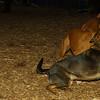 Oscar (pup), Ruby (boxer girl)_01