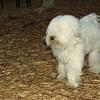 Petey (tibetan terrier boy)_05