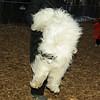Petey (tibetan terrier boy)_03