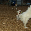 Petey (tibetan terrier boy)_06