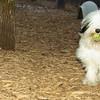 Petey (tibetan terrier boy)_01