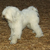 Petey (tibetan terrier boy)_02