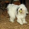 Petey (tibetan terrier boy)_04