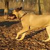 Cadence ( pup girl bull mastiff)_01
