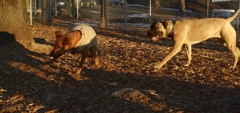 Cadence (bull mastiff puppy), Kadie_01