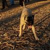 Cadence ( pup girl bull mastiff)_02