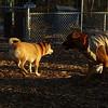Holly, {shiba, inu), Kadie (new pup)