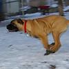 brandy (bull mastiff pup)_02